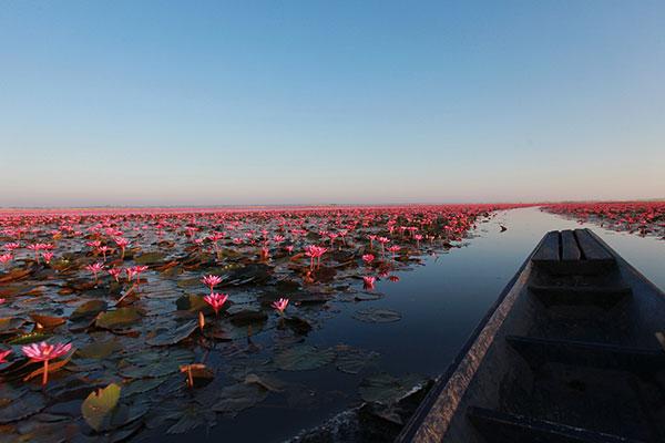 ทะเลบัวแดง หนองหานกุมภวาปี