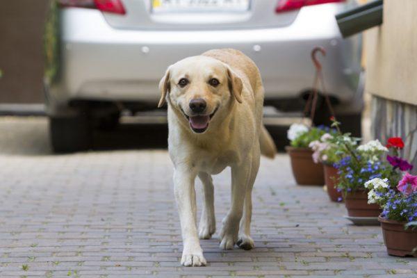 ขับรถชนสุนัข เคลมประกันได้ไหม